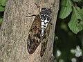 Graptopsaltria-nigrofuscata-by-Bruno-Uehara-4.jpg