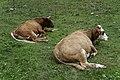 Grasende Kühe am Wegesrand im Seebachtal 20190820 010.jpg