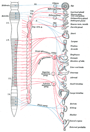 "Autonomic nervous system - Autonomic nervous system, showing splanchnic nerves in middle, and the vagus nerve as ""X"" in blue. The heart and organs below in list to right are regarded as viscera."