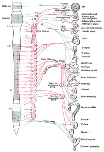 Вегетативная нервная система —