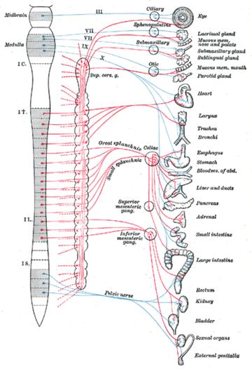 Sistema nervioso simpático - Wikipedia, la enciclopedia libre