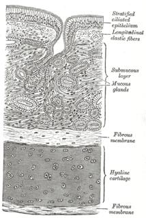 Respiratory epithelium