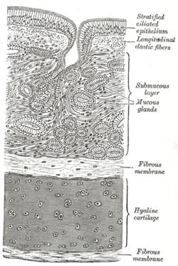 Respiratory epithelium wikipedia diagram of the trachea showing respiratory epithelium at the top ccuart Choice Image