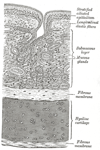 Respiratory epithelium - Diagram of the trachea showing respiratory epithelium at the top