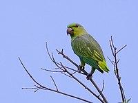 Graydidascalus brachyurus - Short-tailed parrot, Careiro da Várzea, Amazonas, Brazil.jpg