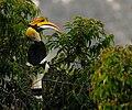 Great-Hornbill.jpg
