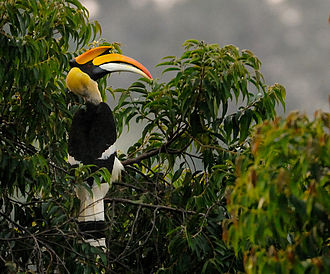 Great hornbill - Perched on a Maesopsis eminii tree at Valparai, India