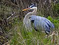 Great Blue Heron at Lake Woodruff - Flickr - Andrea Westmoreland (7).jpg