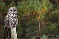Great Gray Owl (Strix nebulosa) (6182968842).jpg