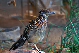 Greater Roadrunner- New Mexico's State Bird.jpg