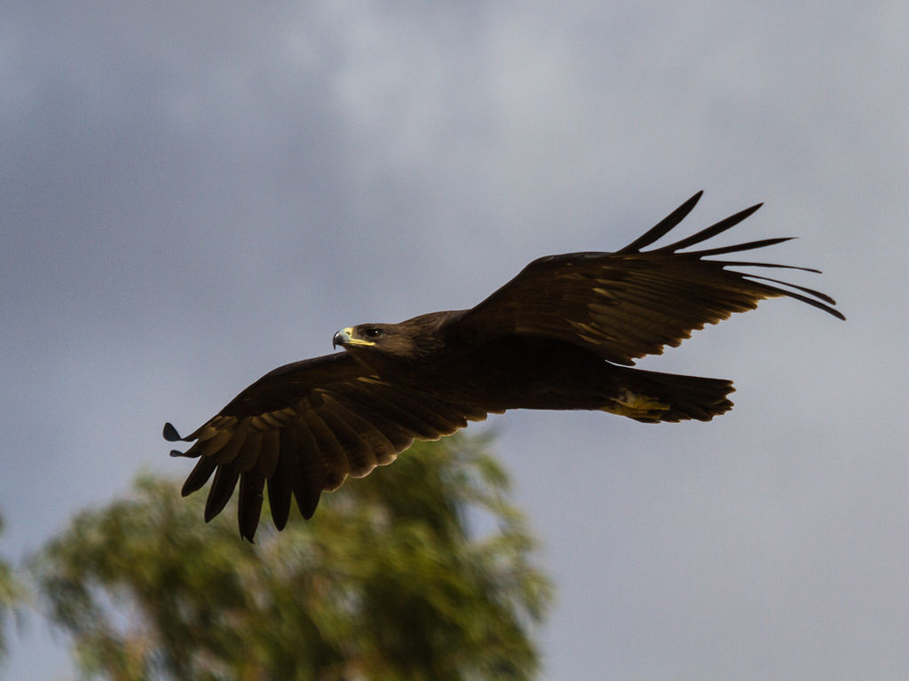 Greater spotted eagle in flight.jpg