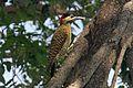 Green-barred Woodpecker - Flickr - GregTheBusker.jpg