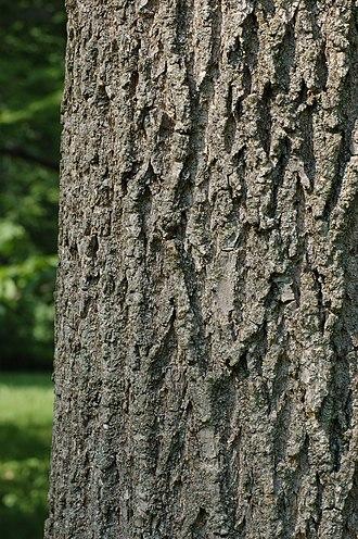 Fraxinus pennsylvanica - Bark