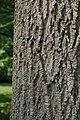 Green Ash Fraxinus pennsylvanica Bark 2000px.jpg