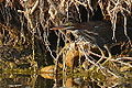 Green Heron (7861137688).jpg
