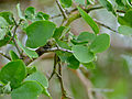 Green Thorn (Balanites maughamii) (11452271795).jpg