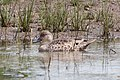 Grey Teal (Anas gracilis) (8079574551).jpg