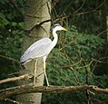 Grey heron (35381697736).jpg