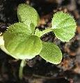 Greyia sutherlandii seedling, by Omar Hoftun.jpg