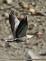 Greylag Goose (Anser anser) (32618187892).jpg