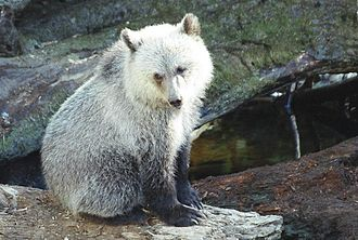Grizzly bear - Grizzly bear cub in Western Canada