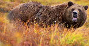 Grizzly bear in autumn in Denali National Park.