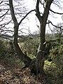 Growing on a ridge boundary - geograph.org.uk - 1203475.jpg
