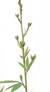 Pigeon pea species of plant, Pigeon pea