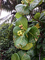 Guettarda speciosa fruits Beqa Fiji.jpg
