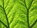 Gunnera leaf.JPG