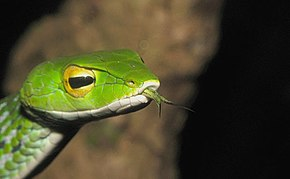Description de l'image  Gunther's Vine snake.jpg.