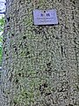 HK 北角半山 North Point Mid-Levels 雲景道 69-75 Cloud View Road 摩天大廈 Skycraper Apr-2014 Tree Cotton trunk sign.JPG
