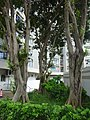 HK 屯門 Tuen Mun Kin Sang Estate Leung Wan Street tree trunks July 2016 DSC.jpg