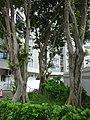 HK 屯門 Tuen Mun Kin Sang Estate Leung Wan Street tree trunks July 2016 DSC.jpg