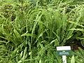 HK Admiralty Tamar Park s Amphitheatre grass 腎蕨 Nephrolepis auriculata May-2013.JPG