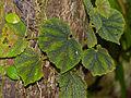 Hairy Begonia (Begonia conipila) (15292864068).jpg