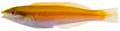 Halichoeres pictus - pone.0010676.g118.png