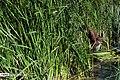 Hamoun wetland 13960411 17.jpg