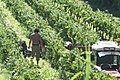 Hand harvesting in the Vaucluse.jpg