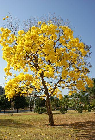 Handroanthus serratifolius - H. serratifolius, Brazil