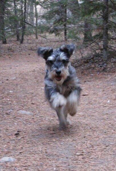 File:Hans the miniature schnauzer, running on the St Vrain Trail.jpg