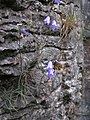 Harebell, Conies Dale - geograph.org.uk - 215048.jpg