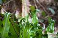 Harts tongue Asplenium scolopendrium (8987970106).jpg
