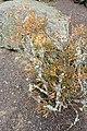 Hatiora salicornioides kz1.jpg