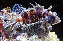 Hawaiian Lionfish (Dendrochirus barberi) at the Waikiki Aquarium.JPG