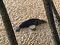 Hawaiian Monk Seal Returning to Kaimana Beach.jpg