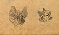 Heads of a horse shoe bat and a common bat. Drawing, c. 1789 Wellcome V0009144ER.jpg
