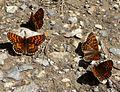 Heath Fritillary. Mellicta athalia - Flickr - gailhampshire.jpg