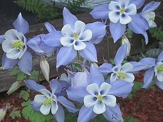 Aquilegia coerulea - Aquilegia coerulea (Duval)