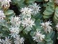 Hebe pinguifolia2.jpg